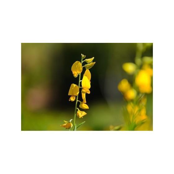 Crotalaria juncea - sunn hemp
