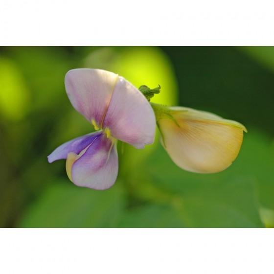 Vigna unguicolata / sinensis