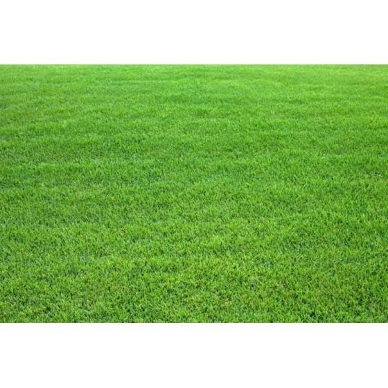 Kikuyu grass whittet